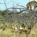 Earth Animal Planet TV - Leopard Cheetah - Leopard Escapes From The Wild Dogs Hunting