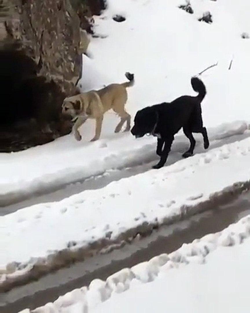 SiYAH VE BEYAZIN GUZEL UYUMU - ANATOLiAN SHEPHERD BLACK DOG and BiSCiUT WHiTE DOG