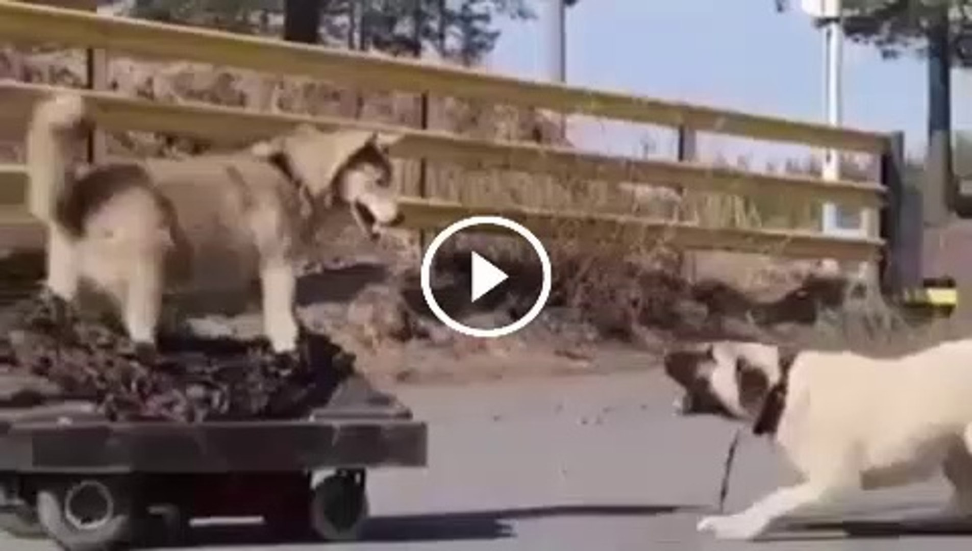 ANADOLU COBAN KOPEGi KURT DERSLERi - ANATOLiAN SHEPHERD DOG and WOLF CURSES
