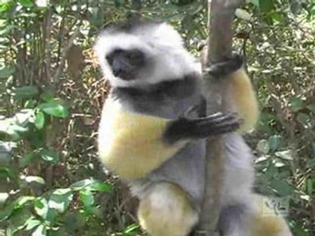 Madagascar, Le chant des Lémuriens