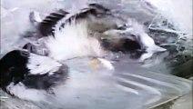 Saint-Avold : deux oisillons siamois sont nés