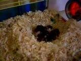 nos bébés hamsters le 9ème jour