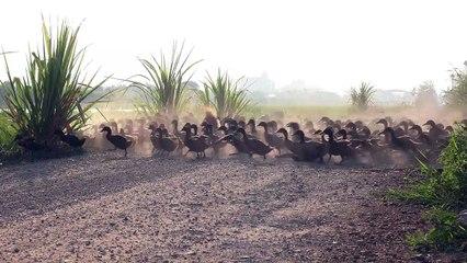 Armée de canards en Thailande