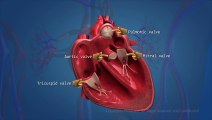 Human_Circulatory_System