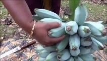 Des cendres de la banane Plantain (Bananes à cuire) faire Frire Recette préparée dans mon Village | la Vie du Village