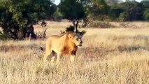 Le rugissement de ce lion est tout simplement impressionnant. Admirez !