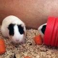 Quand deux cochons d'Indes identiques partagent une meme carotte. Trop mimi !
