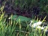 Premier plongeon pour ces bébés cygnes adorables