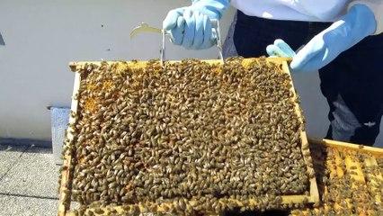 Les abeilles de la PP (épisode 3) : les abeilles de la PP se préparent à la récolte