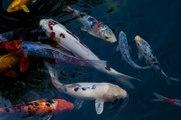 Comment aborder les changements de températures pour mes poissons en bassin ?
