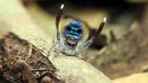 Cette araignée a une technique de défense incroyable - Peacock Spider