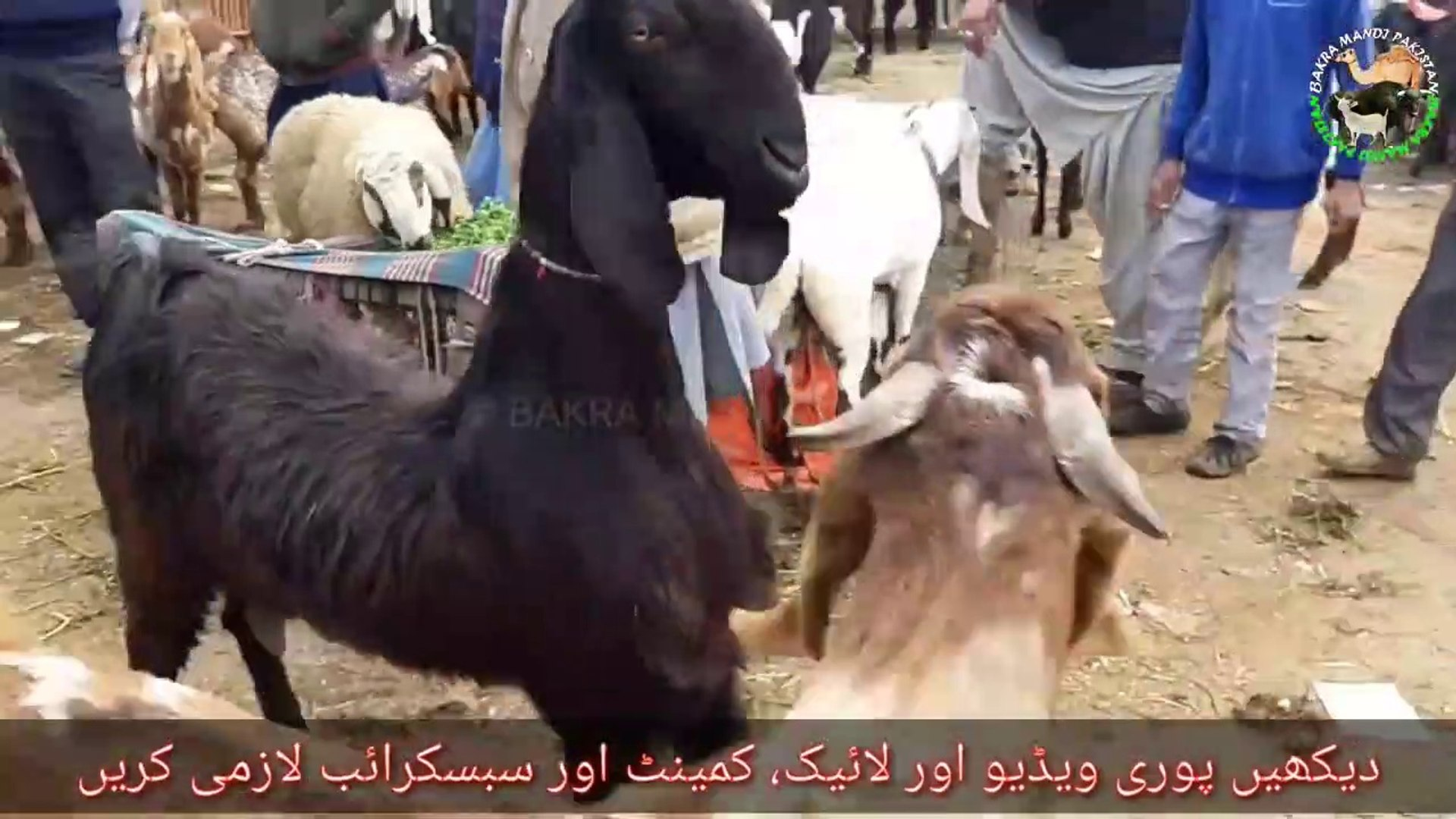 Nachi Dancing Goat Breed of Pakistan - Bakra Mandi 2019