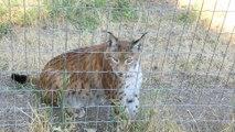 Dreal Lynx CITES : La réglementation CITES au service de la conservation des espèces menacées
