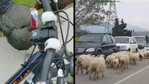 Wild Turkeys Aren't Messing Around & Sheep Herd Stalls Traffic