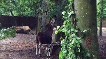 Deux nouveaux okapis au zoo de Mulhouse