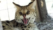 Welcome Our Newest Serval