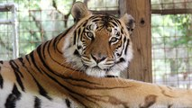 Silly Tiger VS Pumpkin