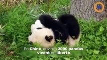 Un panda albinos a été photographié dans une réserve en Chine !