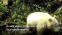 Un panda géant albinos filmé par une caméra