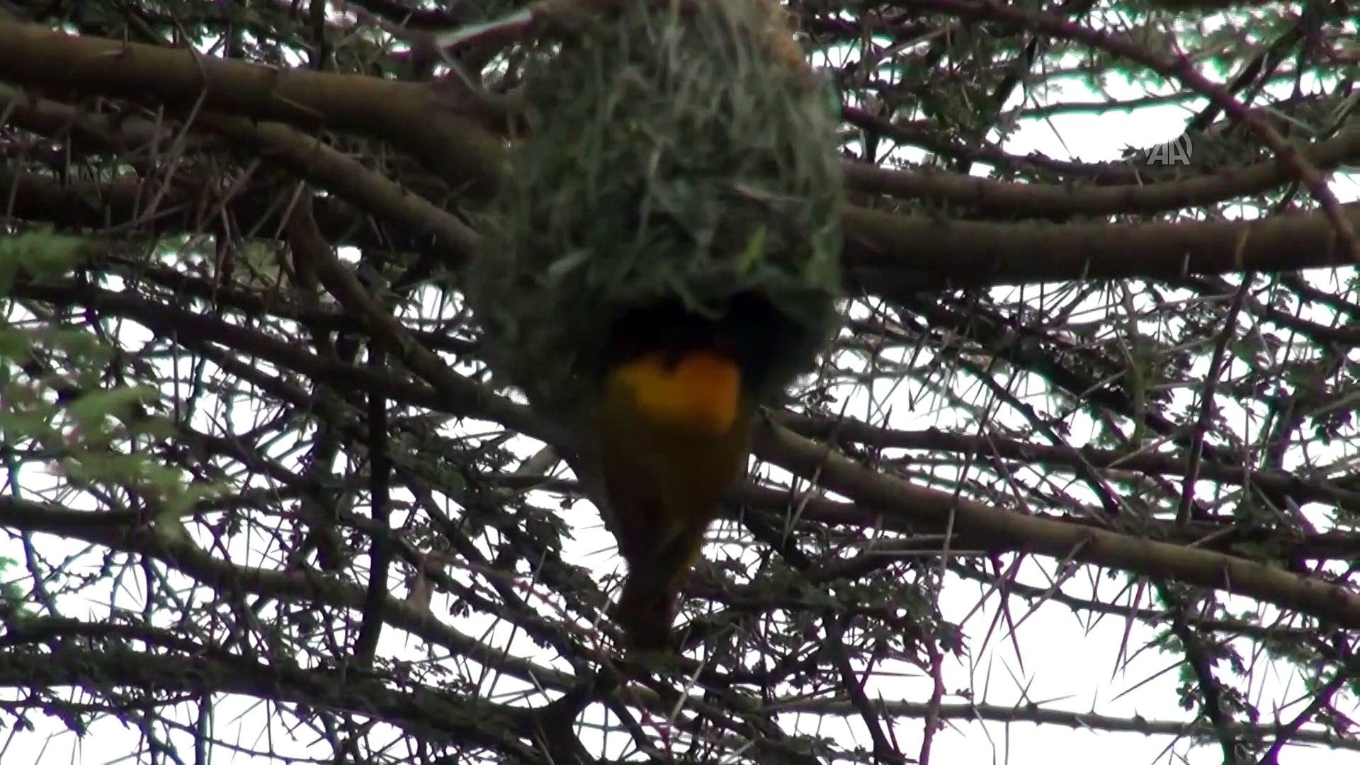 Dokumacı kuşlar mühendis gibi yuva yapıyor - ADDİS ABABA