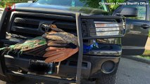 Peacock Wiggles Its Way to Safety After Being Hit by Truck & Getting Stuck in Its Grille