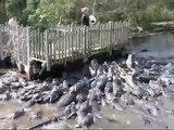 Des centaines d'alligators rappliquent pour le repas dans cette ferme d'alligators... Impressionnant