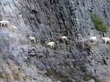Ces chèvres de montagnes gambadent dans des pentes vertigineuses sans problème