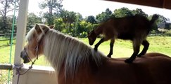 Funny baby goats playing with horses  Compilation 2019 | Funny baby goats playing | Goats VS Horses | Animal Videos #dogs #horse #goats
