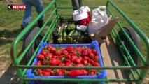 La période de la cueillette ramène sa fraise