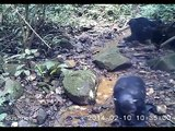 Chimpancés salvajes que pescan cangrejos de agua dulce