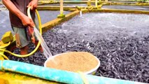Ceci est une ferme d'élevage de poissons chats... Impressionnant