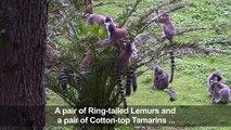 Baby lemurs and tamarins born at Rome Zoo