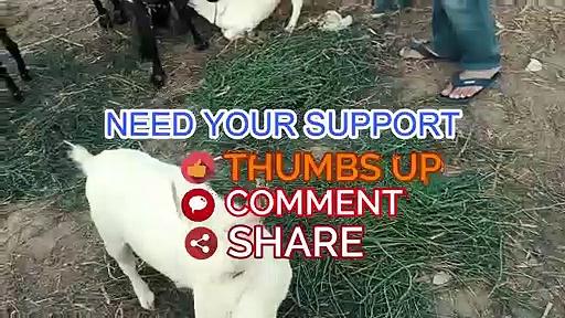 PURE – Barbari Goat – Barbari Goats for Sale in Lahore Bakra Mandi for Qurbani Eid 2018