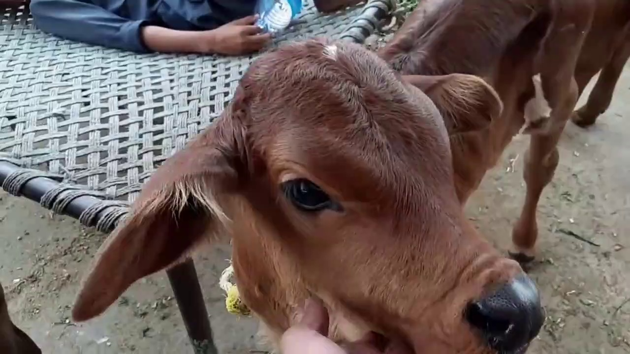 PURE SAHIWAL COW CALF – Nili Ravi Calf – Desi Pakistani Sahiwal Cow Calf in Cow Mandi (2018)