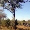 Attaqué par un léopard dans un arbre, un bébé léopard est sauvé par l'intervention de sa mère !