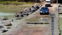 Caimán cruza carretera y corta el paso a los coches