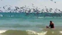 Quand des centaines de pélicans plongent en même temps dans la mer