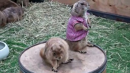 Prairie dogs in T-shirts at pet show in Thailand