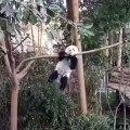 Ce panda veut à tout prix monter sur une branche trop petite. A mourir de rire !