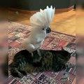 Ce perroquet aime trop fatiguer le chat. Hilarant !