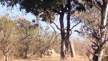 Amazing Baboon Save Impala From Leopard Jumps Tall Tree To Ambush - Leopard Hunting Fail