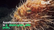Le poisson-grenouille poilu, un prédateur aussi redoutable qu'étonnant