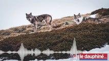 Attaque du loup à Cobonne dans la Drôme : « Le loup est en train de modifier l'écosystème »