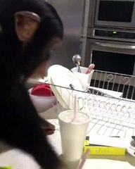 Un jeune chimpanzé  reconnait ses parents (humain) adoptifs après une longue absence