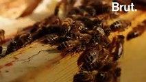 Les abeilles californiennes, grandes victimes de la production d'amandes