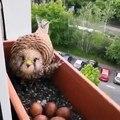 Étonnant ! Ce faucon fait sa niche sur une fenêtre !