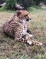 Cette femelle guépard est assise comme une vraie Lady. Admirez !