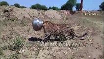 Des villageois trouvent un léopard la tête coincée dans un pot