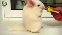 Cute Pets  Fluffy Chinchillas (Full) [Epic Laughs]