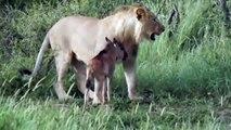 Une lionne protège un bébé antilope... Scène surréaliste